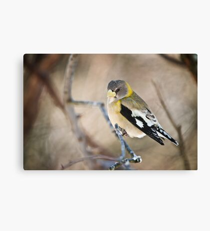 Female Evening Grosbeak Canvas Print