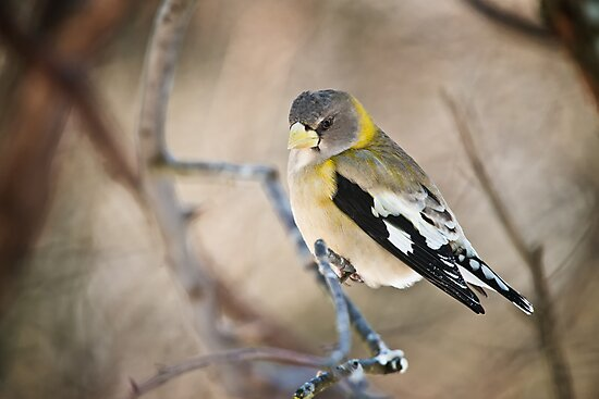 Female Evening Grosbeak by Michael Cummings