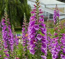 Foxgloves in Hobart's Botanical Garden by GrannyMay