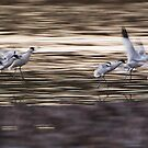Avocets by Neil Bygrave (NATURELENS)