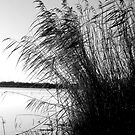Lakeside Reeds by mikebov