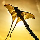 Comet Moth by jimmy hoffman