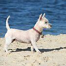 """Beach Dog """"Tudie"""" by aussiebushstick"""