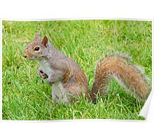 Cute squirrel looking for acorns Poster