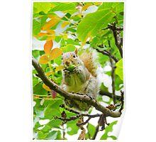 Cute squirrel eating an acorn Poster