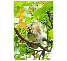 Cute squirrel, in a tree, eating an acorn Poster