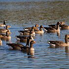 A gaggle of geese by Violaman