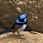 Superb Fairy Wren by Margot Kiesskalt