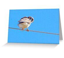 Female : American Kestrel, Falcon family Greeting Card