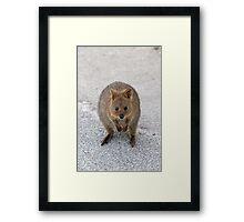 Quokka 11 Framed Print