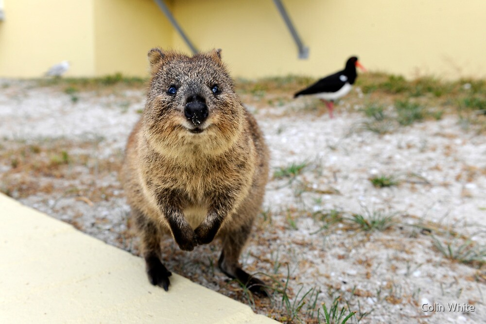 Smiling Quokka by Colin White