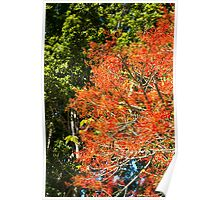 Flame Tree in bloom Poster