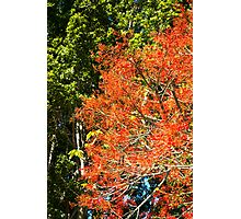 Flame Tree in bloom Photographic Print