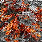 Sea Buckthorn by Yampimon