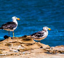 Pacific Gulls. by Bette Devine