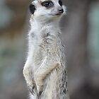 Meerkat 1 by Glenda Williams