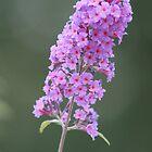 Pink Flower by Peter Barrett