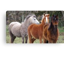 Windswept ponies Canvas Print