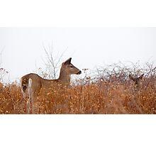 White tail deer grazing Photographic Print