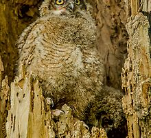 Baby Great Horned owl - Waiting For Dinner by nikongreg