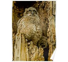 Baby Great Horned owl - Waiting For Dinner Poster