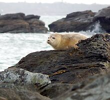 Harbor seal by JayCally