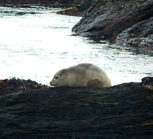 A harbor seal at rest by JayCally