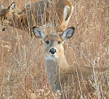 White tail deer in the brush by JayCally