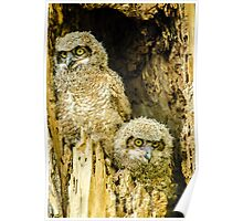 Baby Great Horned Owl Siblings Poster
