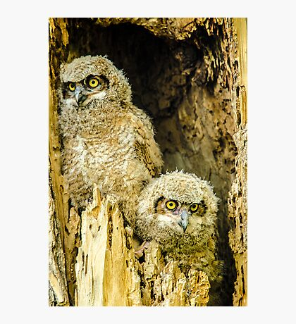 Baby Great Horned Owl Siblings Photographic Print