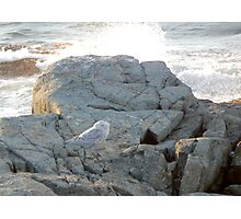 Snowy owl by the ocean Photographic Print