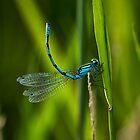 Common Blue Damselfly by Violaman