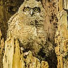 Baby Great Horned Owl - The Stare by Greg Summers