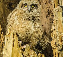 Baby Great Horned Owl - The Stare by Gregory J Summers