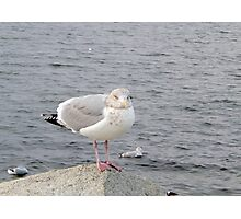 A gull on the rocks Photographic Print