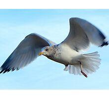 Sea gull in flight Photographic Print