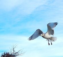 Sea gull landing by JayCally