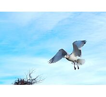 Sea gull landing Photographic Print