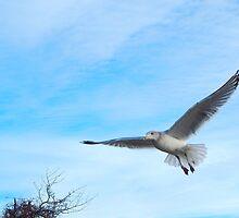Sea gull by JayCally
