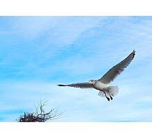 Sea gull Photographic Print