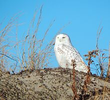Snowy owl on the dunes by JayCally