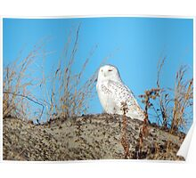 Snowy owl on the dunes Poster