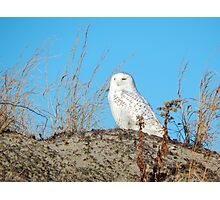 Snowy owl on the dunes Photographic Print