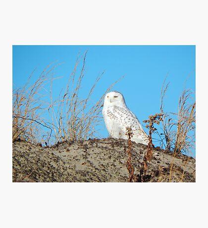 Snowy owl on the dunes Photographic Print