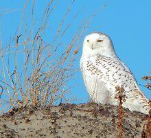 Snowy owl by JayCally