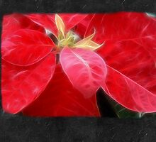 Mottled Red Poinsettia 2 Blank P4F0 by Christopher Johnson