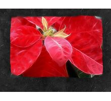 Mottled Red Poinsettia 2 Blank P4F0 Photographic Print