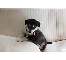 Husky Puppy on a Couch Photographic Print