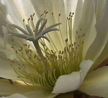 Epiphyllum White Ice Macro by Larry Lingard-Davis