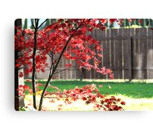 Red Japanese Maple in the Sun Canvas Print